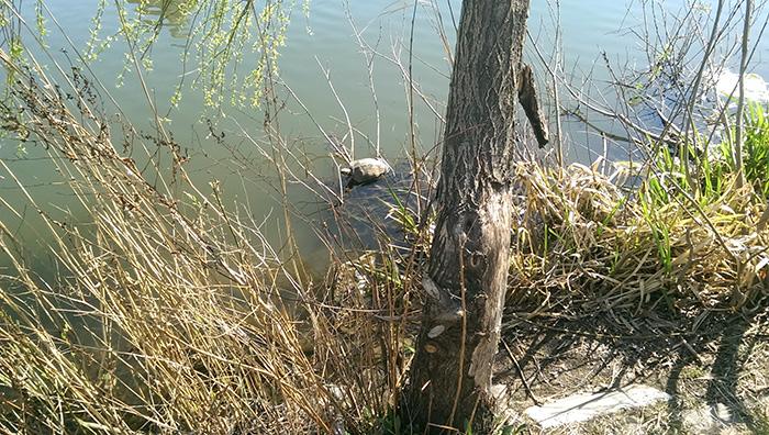 Черепаха на Позняках